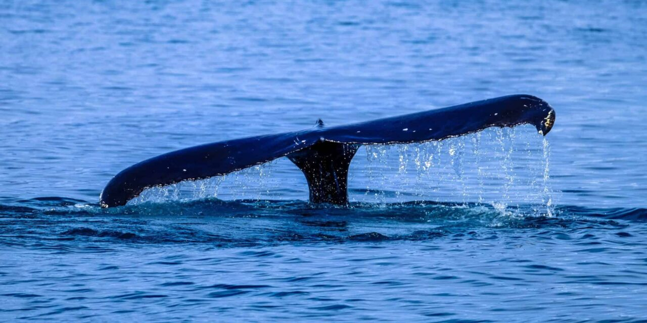 An African Whale's Tail